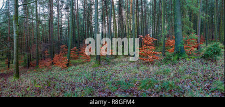 Panorama of Copper Beech Saplings in Autumn Colour Amongst Conifers in Macclesfield Forest - Stock Photo