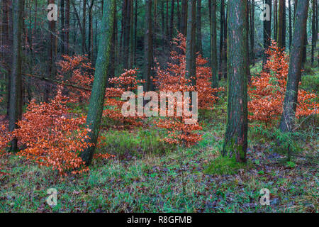 Copper Beech Saplings in Autumn Colour Amongst Conifers in Macclesfield Forest - Stock Photo