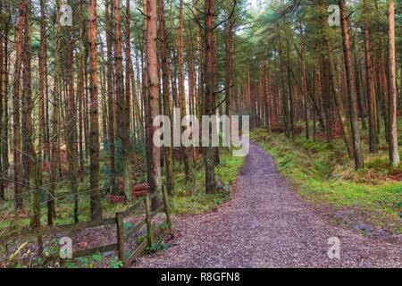 Path Through Conifers in Macclesfield Forest - Stock Photo