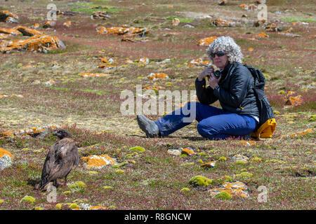 United Kingdom, Falkland Islands, West Falklands, Jason Islands, Steeple Jason. Curious striated caracara (Phalcoboenus australis) aka Johnny rook. - Stock Photo