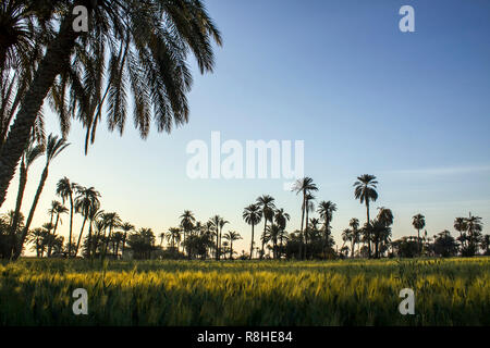 Typical Egyptian countryside view with wheat plants and palm trees at the background. - Stock Photo