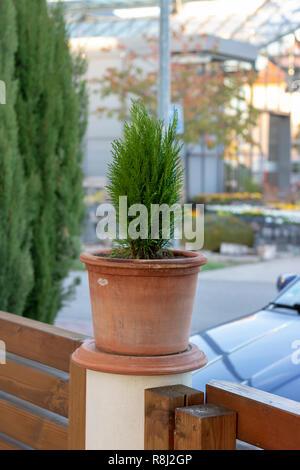 Thuja sapling in a pot - Stock Photo
