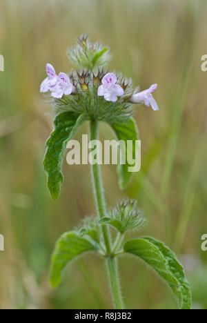 Wild basil (Clinopodium vulgare) in early July in central Virginia - Stock Photo
