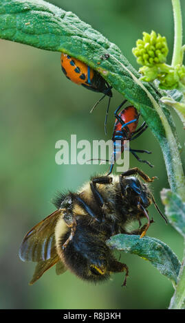 Florida predatory stink bugs (Euthyrhynchus floridanus) feeding on bumblebee (Bombus sp.) they have captured while it was nectaring on the flowers of  - Stock Photo