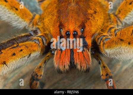 Close-up of wandering spider (Cupiennius getazi); found hiding on underside of dead banana plant leaf. Hair-covered organs directly under the eyes are - Stock Photo
