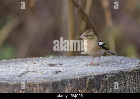 Chaffinch (Fringilla coelebs) female bird in winter plumage on tree stump in seed feeding station. Peaked crown with white shoulder and wing markings. - Stock Photo