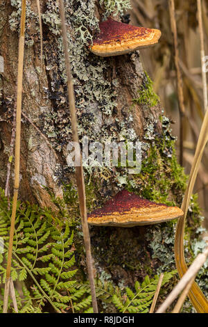 Bracket fungi growing on a tree trunk in oyster like horizontal shelves. Brown yellow upper top attached on one edge to tree with paler outer edges. - Stock Photo