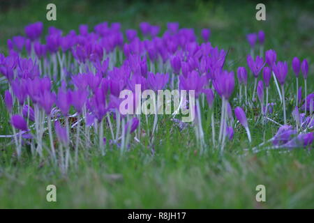 Patch of Purple Autumn Crocus Flowers Growing in a Lawn. Cruickshank Botanic Garden, Old Aberdeen, Scotland, UK. - Stock Photo