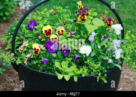 Colorful Pansies in a Black Metal Bucket. - Stock Photo