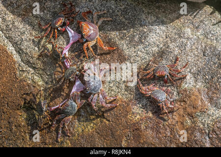 Sally Lightfoot crab - Grapsus Grapsus crabs tearing / eating fish remains - red rock crabs on colorful background - crabs with red claws scavengers - Stock Photo