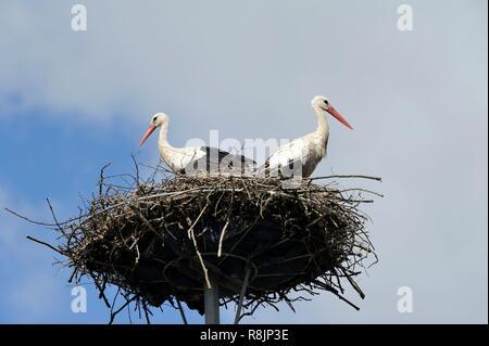 Poland, West Pomeranian, Tanowo, two white storks or Ciconia ciconia in their nest - Stock Photo