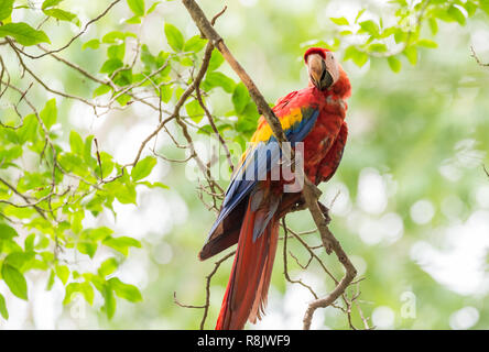 Scarlet macaw (Ara macao), large red, yellow, and blue Central and South American parrot.  Member of large group of Neotropical parrots called macaws. - Stock Photo