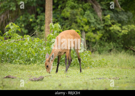 marsh deer in Pantanal, Brazil - Stock Photo
