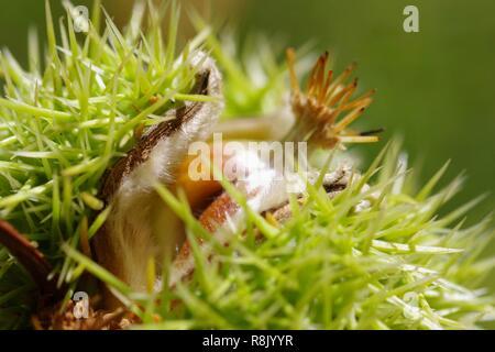 Sweet Chestnut (Castanea sativa) Close Up of Spiky Protective Husk. Cruickshank Botanic Garden, Aberdeen, UK. Autumn. - Stock Photo