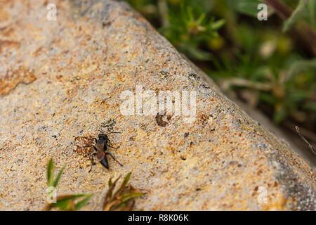 black scary flying wasp beetle on stone in washington - Stock Photo