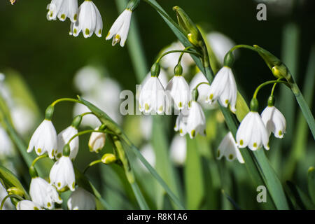 Summer snowflake flowers (Leucojum aestivum) blooming on a meadow in California; it is native to Europe and introduced to the United States - Stock Photo