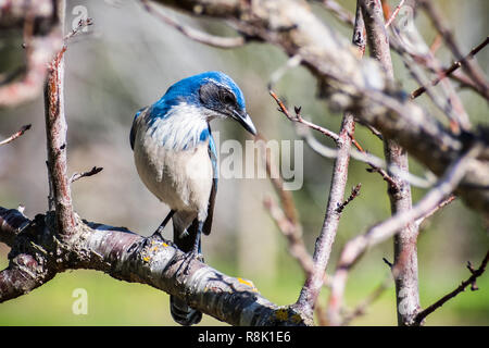 California Scrub Jay (Aphelocoma californica) sitting on a branch, looking for insects, San Francisco bay area, California - Stock Photo