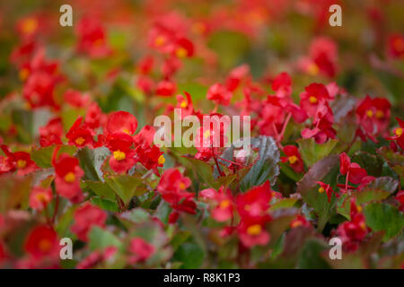 Red flowers background with red shimmery wax begonia - Stock Photo