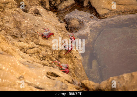 Fauna of Gran Canaria   - rock crabs Grapsus adscensionis by the shore, Banaderos area