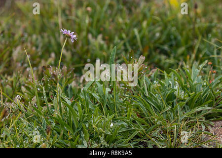 wild aster flower with purple bloom in dew filled meadow - Stock Photo