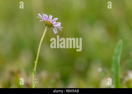 aster in dew filled field has spiderwebs on blossom - Stock Photo