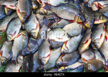 Caught crucians on green grass. Successful fishing. Heap of Carassius carassius. Freshly caught river fish. Caught fishes after lucky fishing. Crucian - Stock Photo
