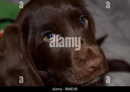 chocolate labrador retriever puppy male portrait studio shot, eight week old retriever-gun dog puppy portrait - Stock Photo