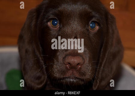 portrait of a sweet labrador puppy, chocolate labrador retriever puppy male portrait studio shot - Stock Photo