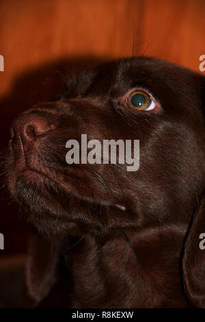 healthy and pretty labrador puppy portrait, chocolate labrador retriever puppy male portrait studio shot - Stock Photo