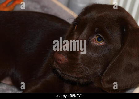 puppy of a chocolate brown labrador looks curiously sideways close up view, chocolate labrador retriever puppy male portrait studio shot - Stock Photo