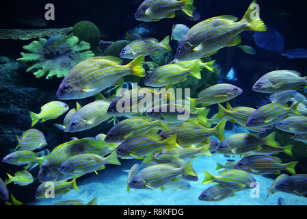 Blue lined snapper fish / school of blue lined snapper swimming marine life underwater ocean (Lutjanus kasmira) - Stock Photo