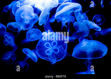 blue jellyfishes swimming in an aquarium - Stock Photo