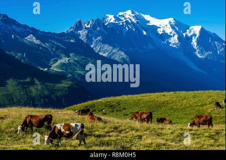 France, Haute-Savoie, Le Tour, Tour du Mt Blanc, col de Balme and pastures, cow herd with Mont Blanc in the back - Stock Photo