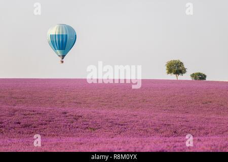 France, Alpes de Haute Provence, Verdon Regional Nature Park, Puimoisson, a hot air balloon flies over the lavender (Lavandin) fields of the Plateau de Valensole at low altitude - Stock Photo