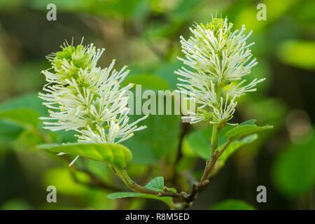 Close-up of flowering white Dwarf fothergilla (Fothergilla gardenii) in Spring. - Stock Photo