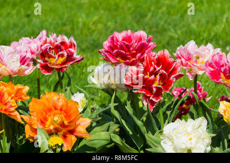 Close-up of beautiful colorful Tulips on a green Meadow. View of many blossoming Tulips on a sunny Day. - Stock Photo