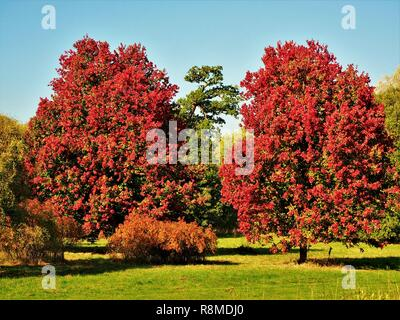 Two beautiful 'October Glory' maple trees (Acer rubrum) with bright red autumn foliage - Stock Photo