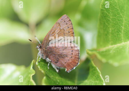 Brown Elfin (Callophrys augustinus) perched on green leaves - Stock Photo