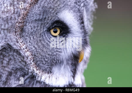 Close up of great grey owl in profile. Photographed in Bedfordshire, UK - Stock Photo