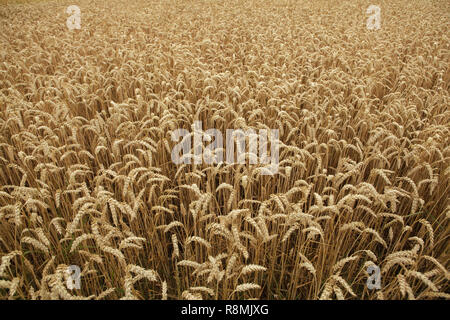 Ripe wheat field. Background texture. - Stock Photo