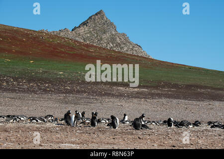 United Kingdom, Falkland Islands, West Falklands, Jason Islands, Steeple Jason. Home to largest black-browed albatross colony in the Falklands. Gentoo - Stock Photo