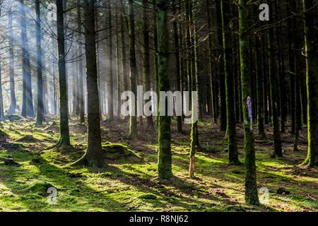 sunny day of winter with sunbeams coming through the trees with shadows and moss on the trees trunks and ground in the forest in the Belgian Ardennes - Stock Photo