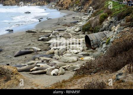 Elephant Seals at the beach near San Simeon, California, USA - Stock Photo