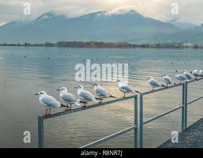 A flock of black-headed gulls (also known as Laughing gull) form a line on the shores of the Upper Zurich Lake (Obersee), near Rapperswil, Sankt Galle - Stock Photo