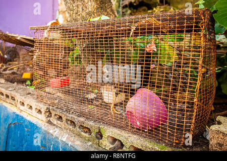 Chicken left in cage for sale on street alone - Stock Photo
