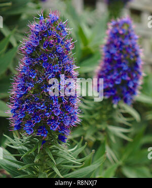 Close up look at blue perennial plants - Stock Photo