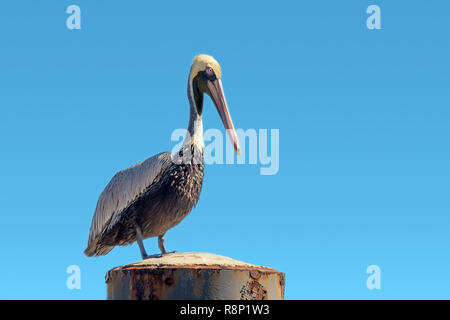 Pelecanus occidentalis brown pelican standing on a Mooring bollard, blue gradient sky background - Stock Photo