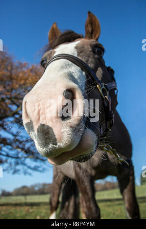 close up of a horses face from a low down angle, looking up at the horse from ground level showing blue sky and green grass on a beautiful day. - Stock Photo