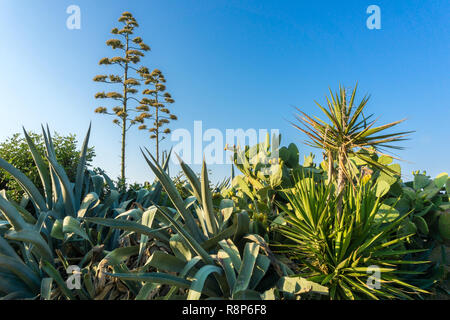 View of a Araucaria heterophylla and the diversity of plants on the island of Crete - Stock Photo