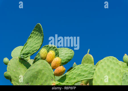 Close-up of a Big flowering Cactus with Yellow Pears in front of a blue Sky. - Stock Photo